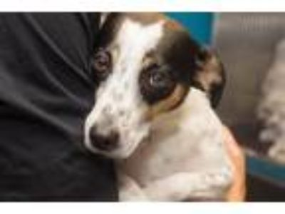 Adopt Patches a Terrier