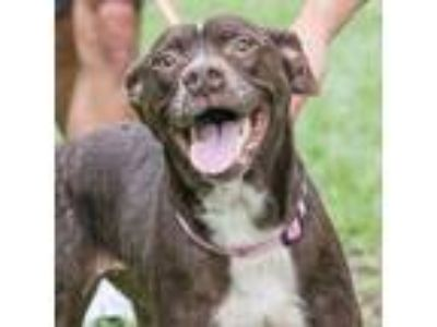 Adopt Scuba a Gray/Silver/Salt & Pepper - with Black Shepherd (Unknown Type) dog