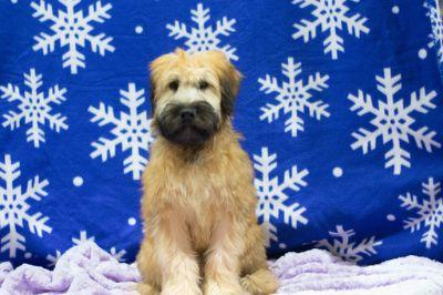 Soft Coated Wheaten Terrier PUPPY FOR SALE ADN-70069 - Neil