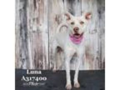 Adopt LUNA a White Labrador Retriever / American Pit Bull Terrier / Mixed dog in