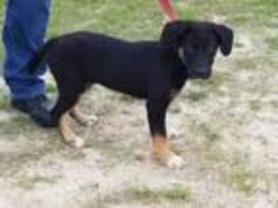 Adopt JAZZ a Black Shepherd (Unknown Type) / Mixed dog in Clinton, NC (25835292)