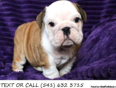Agreeable!*English Bulldog Puppies For Sale