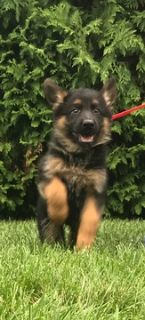 German Shepherd Dog PUPPY FOR SALE ADN-95688 - Amazing AKC German  Shepherd Puppies