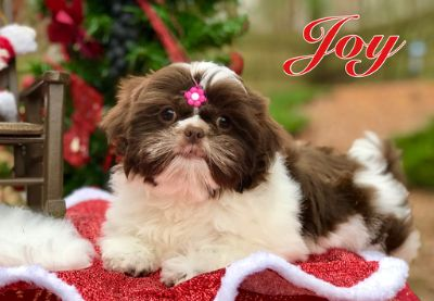 Shih Tzu PUPPY FOR SALE ADN-109019 - Christmas puppy Beautiful Imperial Shih Tzu