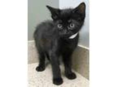 Adopt Andy a All Black Domestic Shorthair (short coat) cat in Downers Grove
