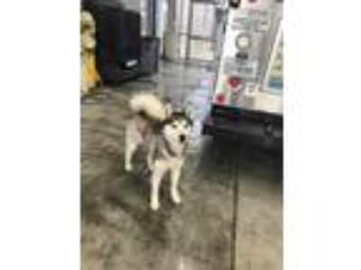 Adopt ADOPTED a White Husky / Mixed dog in Fort Worth, TX (25315206)