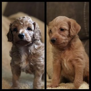 Doodle PUPPY FOR SALE ADN-99535 - Doxipoo puppies