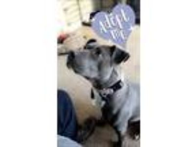 Adopt NORLINA H WILSON-BEAUTIFUL SOUL , LOVES OTHER DOGS!!!!! a Pit Bull Terrier