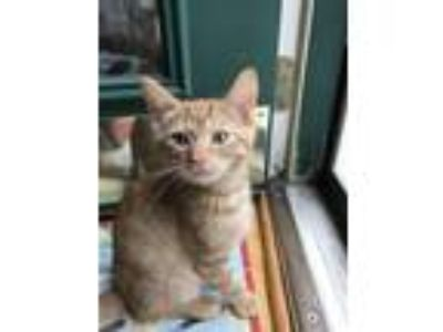 Adopt Calvin a Domestic Shorthair / Mixed cat in Pittsburgh, PA (25650736)