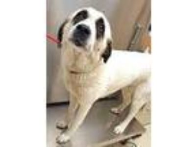 Adopt Mia a White Great Pyrenees / Anatolian Shepherd / Mixed dog in