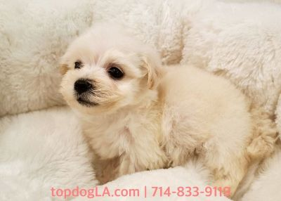 Maltipoo Puppy - Male - Blue ($1,299)