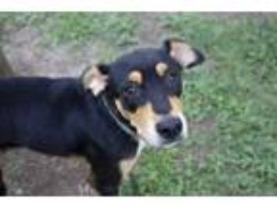 Adopt a Tricolor (Tan/Brown & Black & White) Doberman Pinscher / Mixed dog in