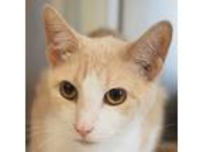 Adopt Kiki a Cream or Ivory (Mostly) Domestic Shorthair / Mixed (short coat) cat