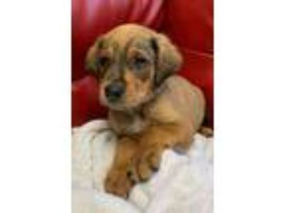 Adopt The Left Behind Labs - Willy a Labrador Retriever, Mixed Breed