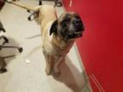 Adopt MAYBEL a Brown/Chocolate Mastiff / Mixed dog in Dedham, MA (24342837)