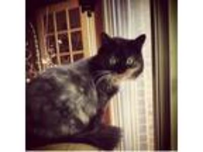 Adopt Monster a Calico or Dilute Calico Domestic Mediumhair / Mixed (medium