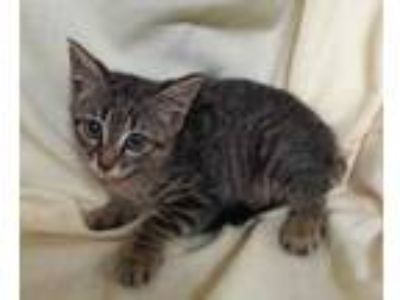 Adopt Coral a Brown or Chocolate Domestic Shorthair / Domestic Shorthair / Mixed