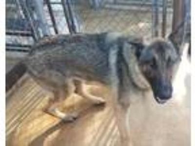 Adopt Nami a Tan/Yellow/Fawn German Shepherd Dog / Mixed dog in Brownwood