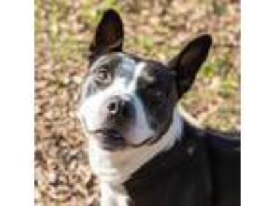 Adopt Tyson a Black American Pit Bull Terrier / Mixed dog in Spartanburg