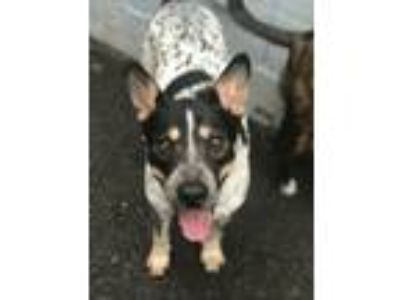 Adopt Sir Isaac Newton a Australian Cattle Dog / Blue Heeler, Shepherd