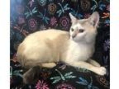Adopt Glasses a Siamese cat in Westmont, IL (25841159)