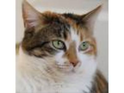 Adopt Brindyl a Calico or Dilute Calico Domestic Shorthair cat in Meridian
