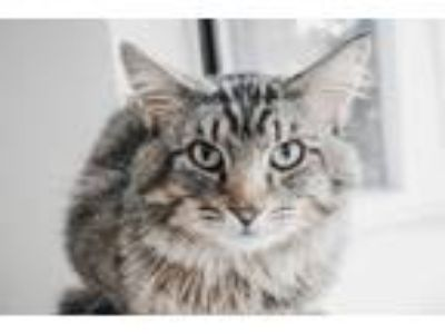 Adopt Teddy a Domestic Medium Hair