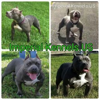 American Pit Bull Terrier PUPPY FOR SALE ADN-48559 - Pitbull bully puppies UKC