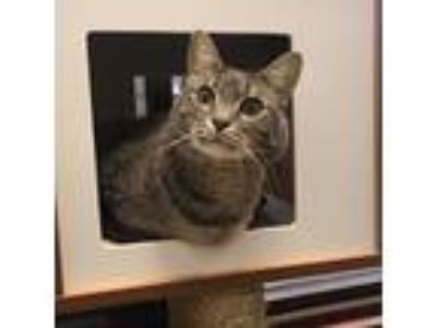 Adopt Spartan a Domestic Short Hair