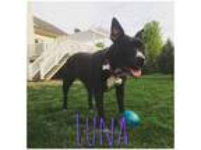 Adopt Luna a Pit Bull Terrier, American Staffordshire Terrier