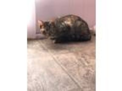 Adopt Snickerdoodle a Tabby, Domestic Short Hair