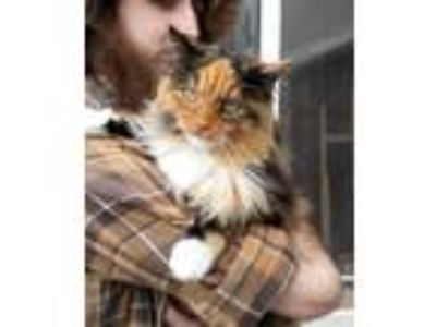 Adopt Moose a Calico or Dilute Calico Domestic Longhair cat in Springville