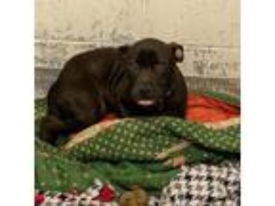 Adopt Picard a Black American Pit Bull Terrier / Mixed dog in Indianapolis
