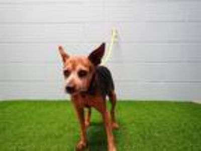 Adopt ULYSSES a Rat Terrier, Mixed Breed