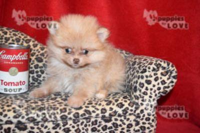 Pomeranian PUPPY FOR SALE ADN-80833 - MICRO TCUP  AKC  FULL REGISTRATION