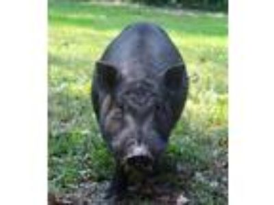 Adopt Oscar Mayer a Pig (Potbellied) farm-type animal in Columbia Station