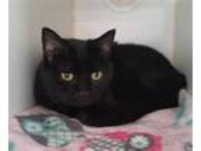 Adopt Moon a Domestic Shorthair / Mixed cat in Oceanside, CA (25325338)