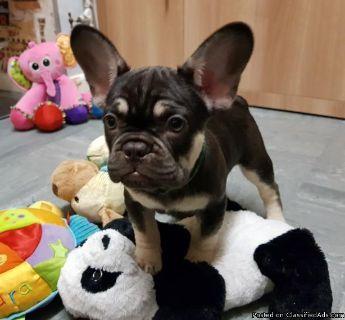 Chocolate And Tan French Bulldog pups