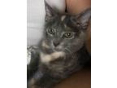 Adopt Silver a Gray or Blue (Mostly) Domestic Mediumhair (medium coat) cat in