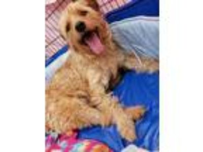 Adopt Tatum Lucky a Tan/Yellow/Fawn Poodle (Standard) / Labradoodle dog in
