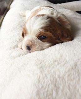 Cavalier King Charles Spaniel PUPPY FOR SALE ADN-62387 - Puppy is SOLD Blenheim AKC King Cavalier Spaniel
