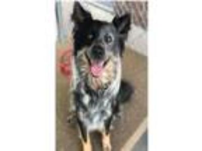 Adopt FELIX a Australian Cattle Dog / Blue Heeler