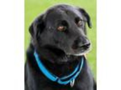 Adopt Falcor AKA Rocky a Black Labrador Retriever / Mixed dog in Loxahatchee