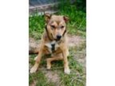 Adopt Leia a Shepherd, Cattle Dog