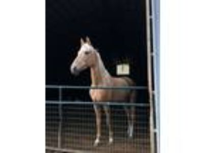 Saddlebred mare for sale