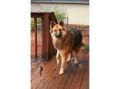 Adopt Mac a Black - with Tan, Yellow or Fawn German Shepherd Dog / Mixed dog in