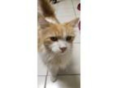 Adopt Donald a Orange or Red Domestic Longhair / Mixed cat in Arlington