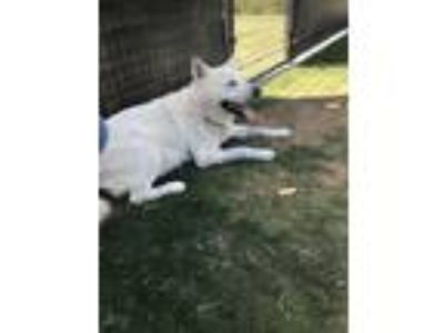 Adopt EMERGENCY FOSTER NEEDED!! a White Labrador Retriever / Husky / Mixed dog