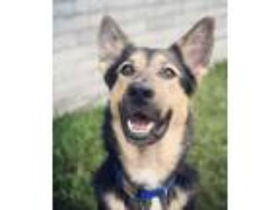 Adopt Ruxin a German Shepherd Dog