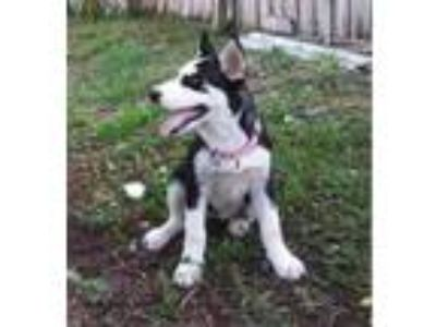 Adopt Alana a Black - with White Siberian Husky / Mixed dog in Winter Springs